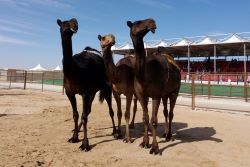 Camels and culture UAE (1n)